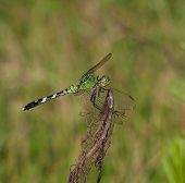 foto of stick-bugs  - Green dragonfly on a stick looking for an easy meal - JPG