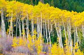 A Row Of Aspen Trees In The Peak Of The Fall Colors
