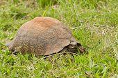 Tortoise In Long Grass