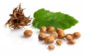 Wild Hazelnuts With Leaf And Involucre,husk Isolated