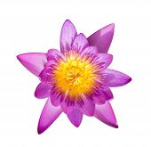 Lotus Aquatic Flora Blossom Isolated On White Blackground