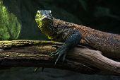 Komodo Dragon (varanus Komodoensis)