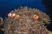 Nemo(Clown Anemonefish)