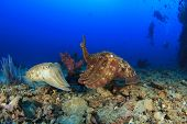 picture of cuttlefish  - Pair of Cuttlefish mating - JPG