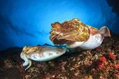 pic of cuttlefish  - Pair of Cuttlefish mating - JPG