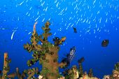 foto of angelfish  - Juvenile Emperor Angelfish hides in coral reef - JPG