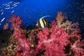 Coral reef and tropical fish (Moorish Idol)
