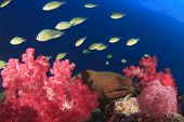 Giant Moray Eel on coral reef with tropical fish