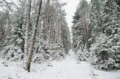 Winter Snow Covered Trees, Viitna, Estonia.