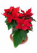 Flower poinsettia (Euphorbia) Christmas star