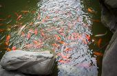 Golden Fishes In A Small Lake