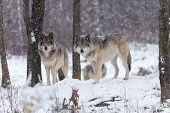 foto of horrific  - Lone timber wolf in a snow storm - JPG