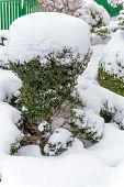snowy ornamental tree, symbol photo for winter, frost damage and winter rest