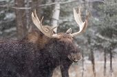 Male Moose in the winter