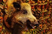 Head Of Wild Boar