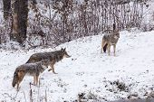 A pack of coyotes in a winter landscape