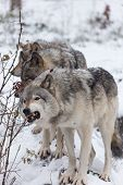 A pack of Grey Wolves in winter