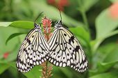 picture of mating  - Large Tree Nymphs butterflies mating - JPG