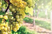 Bunch Of Fresh Organic Grape