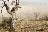 View of a winter vineyard, Munebrega, Zaragoza, Aragon, Spain