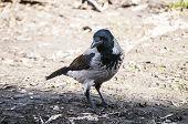 Crow on autumn ground