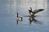 Canada Geese Resting On A Winter Lake