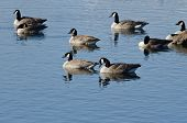 Canada Geese Resting On The Blue Lake