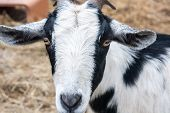 Face of Black and White Goat