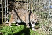 Bobcat in captivity