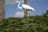 Great Egret Walking On A Green Plant Hedge