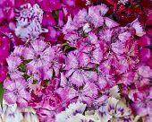 Chinese small carnation flowers bouquet closeup