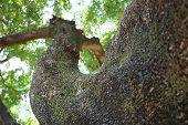 Tamarind Tree Look Like Human Body 1