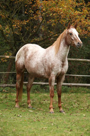 pic of appaloosa  - Potrait of beautiful appaloosa mare in autumn - JPG