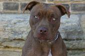 US-amerikanischer Pitbull terrier