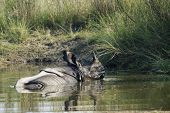 foto of greater  - Rhinoceros unicornis - JPG
