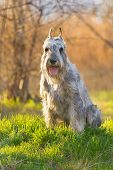 foto of schnauzer  - Beautiful silver schnauzer dog sitting in green grass - JPG