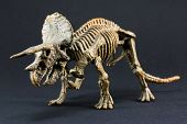 stock photo of darwin  - Triceratops fossil dinosaur skeleton model toy on black background - JPG