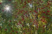 foto of rowan berry  - Close up on red rowan berries and sunlit through the leaves - JPG