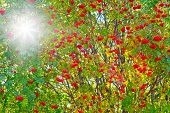 image of rowan berry  - Close up on red rowan berries and sunlit through the leaves - JPG