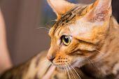 picture of bengal cat  - Portrait of bengal cat close - JPG