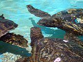 Captive Hawaiian Meeresschildkröten reden miteinander unter Wasser