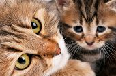stock photo of puss  - Cute siberian cat with little kitten with focus on the cat - JPG