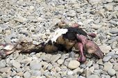 picture of cow skeleton  - dead animal carcass washed up on a pebble beach - JPG
