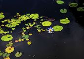 picture of water lily  - water lily pond with blue lily on dark water - JPG