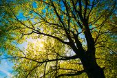 stock photo of green-blue  - Spring Sun Shining Through Canopy Of Tall Oak Trees - JPG