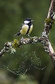 stock photo of tit  - great tit perched on a branch - JPG