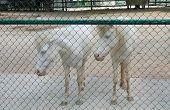 stock photo of white horse  - white horses in cage white horses behind net - JPG