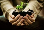 stock photo of environmental protection  - Gardener with vegetable seedling - JPG