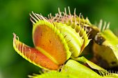 picture of flytrap  - Dionaea muscipula , known as flytrap, in closeup, isolated on nature background