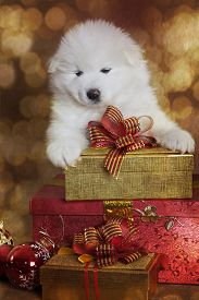 picture of puppy christmas  - One month old Samoyed puppy dog with gifts in front of Christmas background - JPG